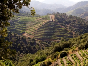 The slopes of Priorat, not the easiest harvest to be fair