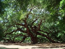 week 31 oak tree