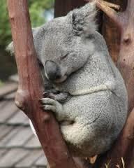 week 35 koala