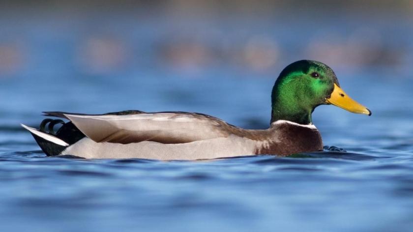 Calm As A Duck